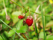 Two wild strawberries growing in the grass.