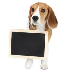 Niedlicher Beagle mit Tafel