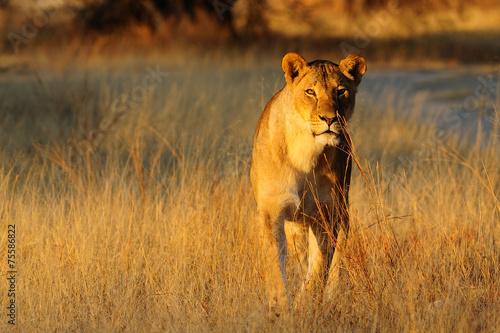 Staande foto Leeuw Lioness standing in the dry grass