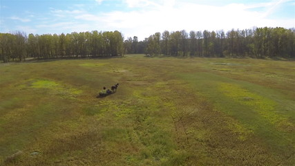Horse with  hay cart in  field. Aerial  shot in sunny day