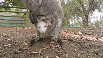 Close-up of a joey in the pouch of a kangaroo