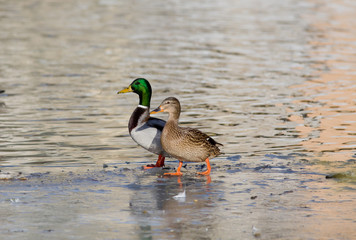 Wild duck couple