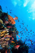 Photo of a coral colony, Red Sea.