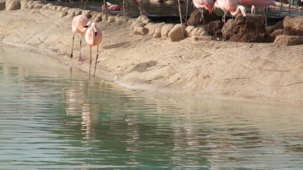 Large pink Flamingo cleans feathers in natural pond in the Park