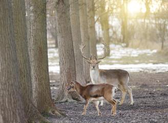 Fallow deer couple