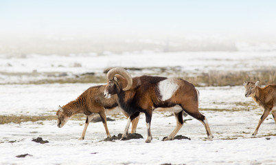 Mouflon herd