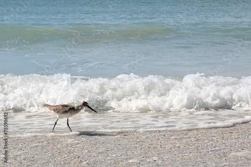 Fotobehang Vogel Sandpiper Shore Bird Walking in Ocean on Beach