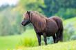 Obrazy na płótnie, fototapety, zdjęcia, fotoobrazy drukowane : Shetland pony standing on green hill and looking forward.