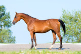 Bay horse standing on blue sky, conformation. poster