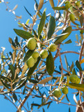 closeup of olives and leaves on a olive tree