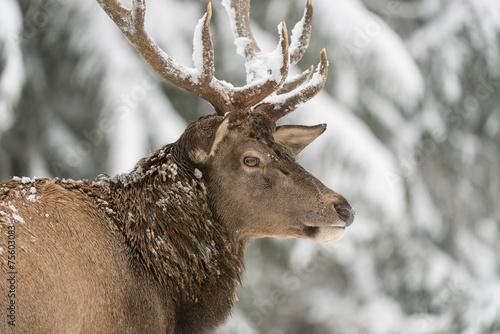 Foto op Canvas Hert Rothirsch, Red deer, Cervus elaphus