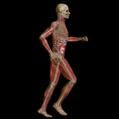 3D human male anatomy isolated