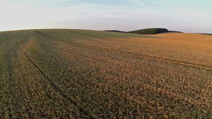 Flight and takeoff above wheat field at sunset, aerial view
