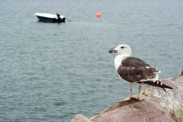 Seagull Perched on the quay of a Breton Harbor