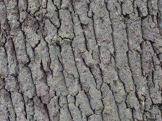 Eichenbaumrinde