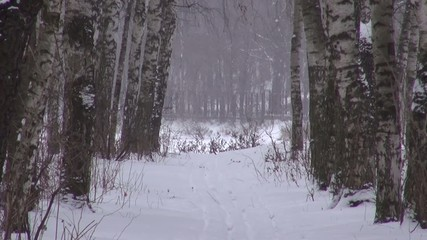 Birch alley with tracks in the winter snow