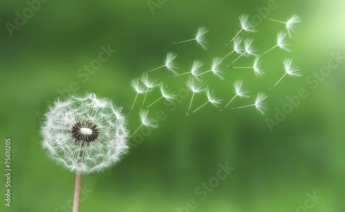 Leinwanddruck Bild Dandelion