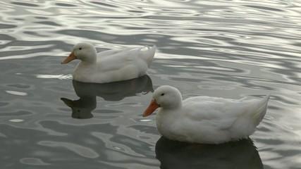 Two White Ducks Swimming