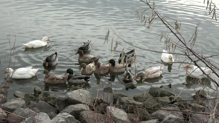 Group of Ducks Found at the Rocky Shore