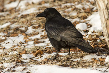 Carrion Crow is sitting on the ground winter day
