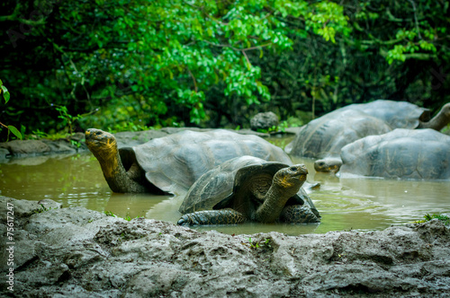 Papiers peints Tortue giant turtles in san cristobal galapagos islands