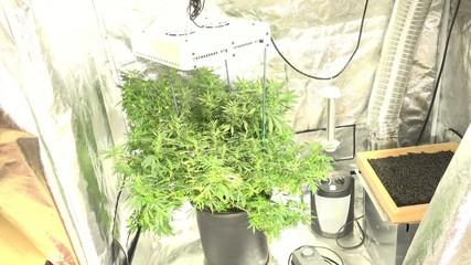 Marijuana Grows Indoor