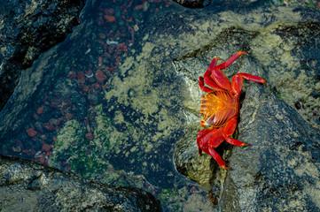 red crab walking on rocks