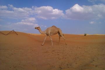 single camel at desert