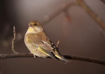 Greenfinch in winter day