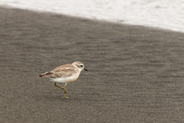 New Zealand plover on sandy beach