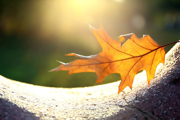 Beautiful autumn leaf in sunlight