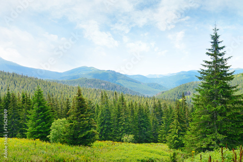 Beautiful pine trees on background high mountains. - 75629849