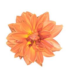 Orange Dahlia Flower Isolated