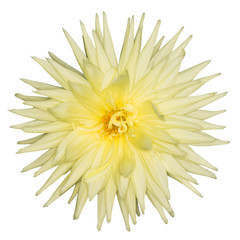 Yellow Dahlia Flower Isolated