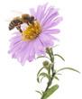 Obrazy na płótnie, fototapety, zdjęcia, fotoobrazy drukowane : Honeybee and blue flower