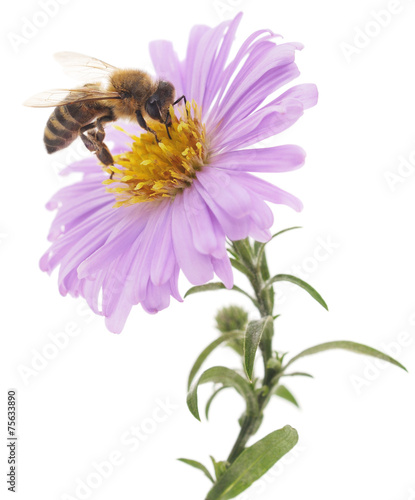 Foto op Aluminium Bee Honeybee and blue flower