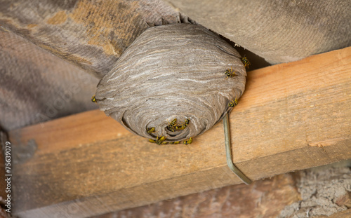 Wasp's nest below asbestos roof - 75639079
