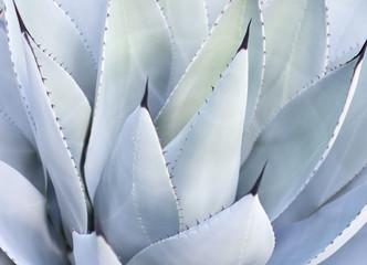 Decorative leaves on Aloe Vera plant, Mallorca, Spain.