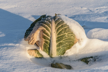 Cabbage on a snow-covered field