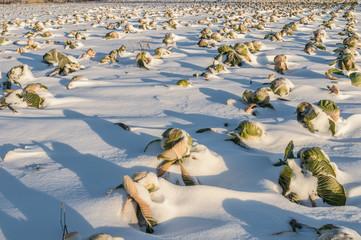 Неубранное Капустное поле под снегом