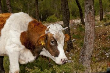 Beef calf grazing at the Biokovo mountain slopes - 4729