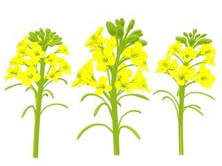 菜の花 アブラナ 菜種 イラスト