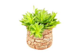 Green succulent plant, isolated on white background