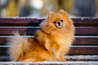 Постер, плакат: red pomeranian spitz dog on a bench