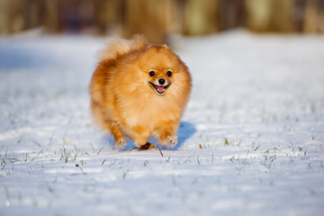 red happy dog running on snow
