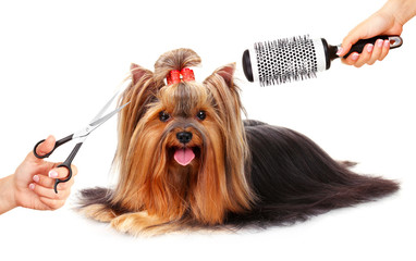 Yorkshire terrier grooming at the salon for dogs, isolated