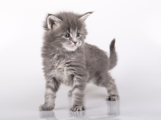 maine coon kitten female