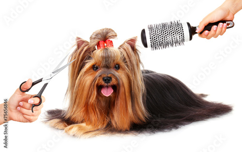 Yorkshire terrier grooming at the salon for dogs, isolated - 75656846