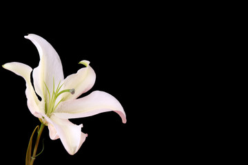 Beautiful lily isolated on black