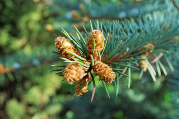 Several buds at the branch of the blue spruce